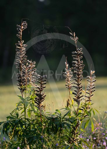 Lupins and spider web
