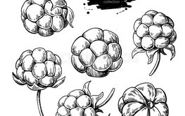 Cloudberry vector drawing. Organic berry food sketch....