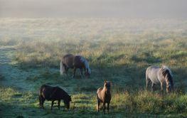 Hästar i morgondis  (Sweden)