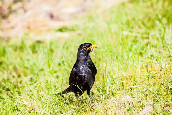 Koltrast, nationalfågeln