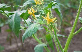 Tomato Flowers Close-up