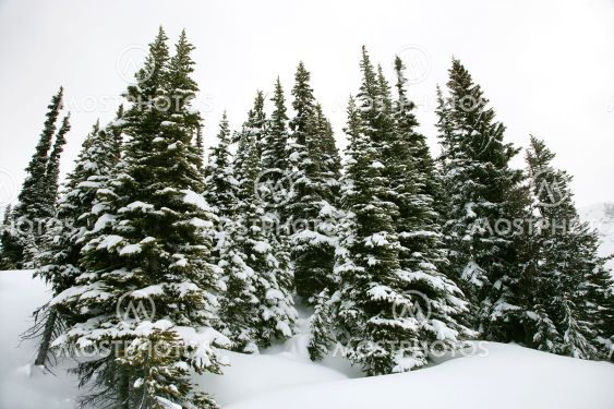 Snow covered pine trees.