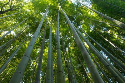 Bamboo Forest at Kyoto Arashiyama area