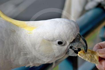 Australian Sulphur-crested Cockatoo taking a cracker....
