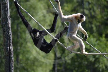 Gibbon apor