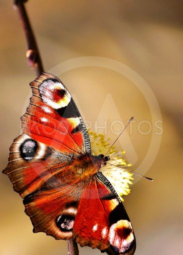 Inachis io, Linné 1758 Butterfly Peacock