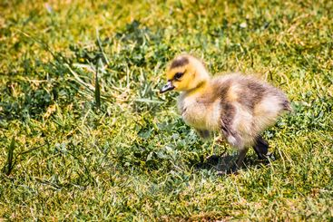 Canada Goose (Branta canadensis) new born chick on a...