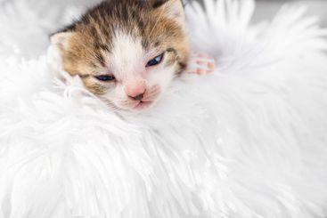 cute little newborn kitten on a white fluffy blanket. Pets