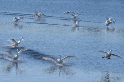 Swanlanding