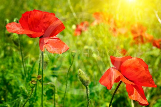 field with poppies and sun