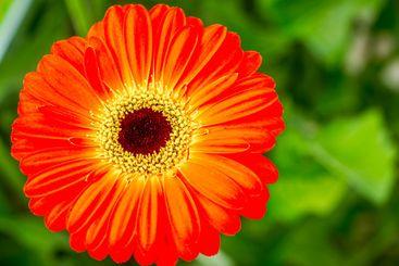 Closeup Gerbera daisy flower