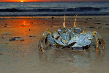 Ghost crab at sunset