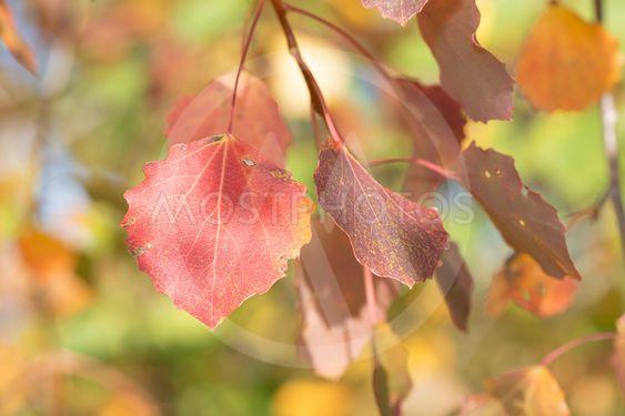 Red aspen leafs during autumn, closeup