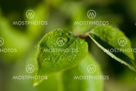 yasmin leaf