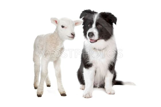 Lamb and a border collie puppy