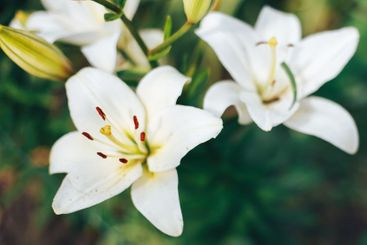 white lilies in garden on a green background