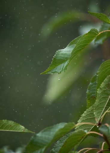leaves with drops in the autumn rain