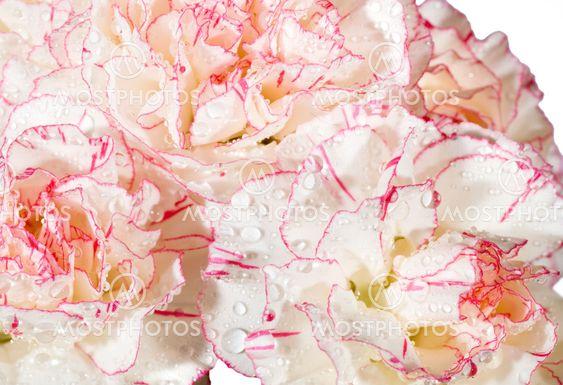 DEW nellike blomster baggrund