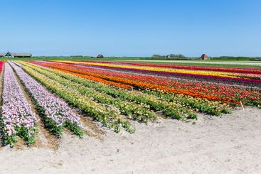 Tulips field Texel, the Netherlands