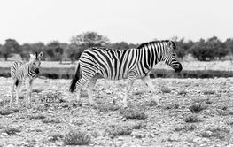 Zebra with foal, Etosha National Park