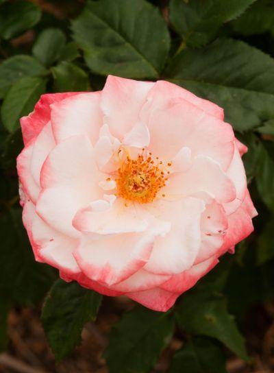 Mary Mackillop Rose