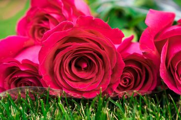 close up. bouquet of roses on green lawn.