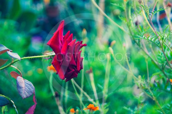 Red rose on a background of greenery