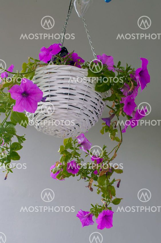 Petunia hybrida hort. ex Vilm, hanging flower in a white...