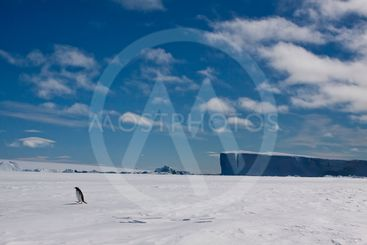 gentoo alone in the ice