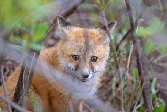Fox Kits Near Den