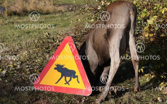 Moose hiding place