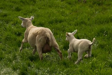 Scared sheeps