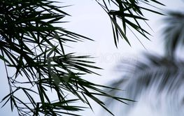 Silhouette bamboo leaves with gray background.