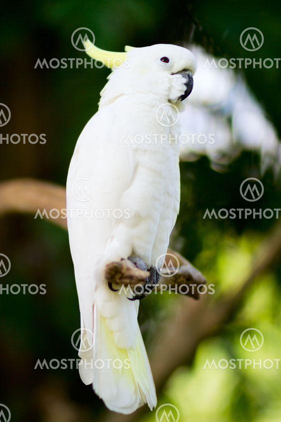 White cockatoo parrot
