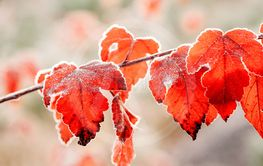 beautiful frosty orange and red leaves in autumn morning...