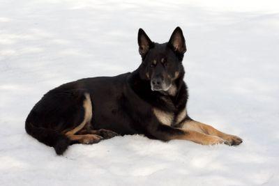 The sheep-dog lays on snow