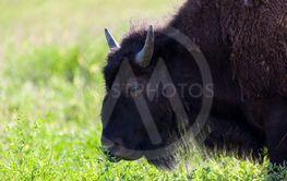 Bison Profile