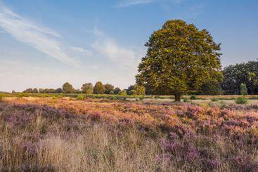 Flowering Dutch heather fields