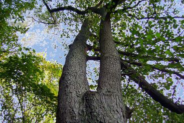 The doubled tree against the dark blue sky