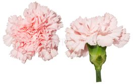 Isolated tender pink carnation on white background.