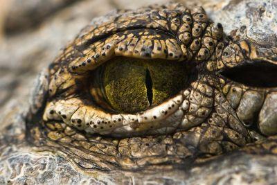Green eye of crocodile