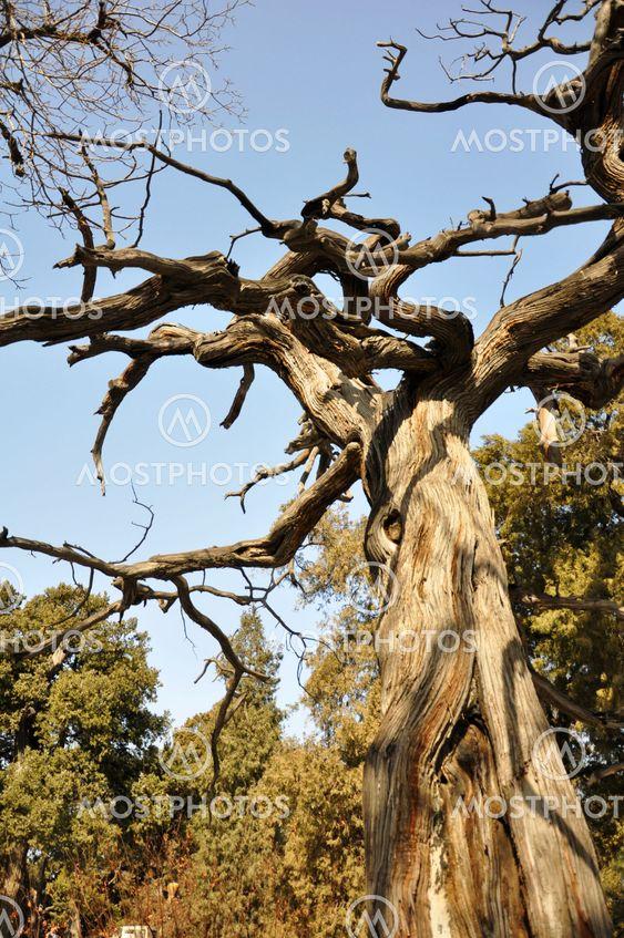Tree in Forbidden City