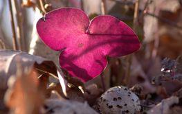 Hepatica flower leaf / blåsippsblad