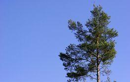 Sky with Pine Tree