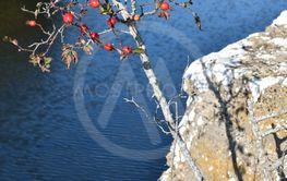 Nypon vid det gamla kalkstensbrottet i Albrunna på Öland
