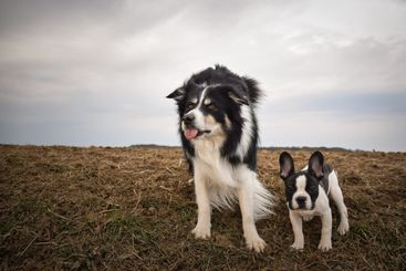 French bulldog and border collie in the field.