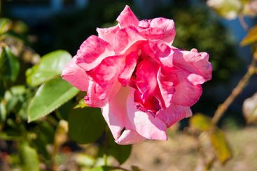 pink rose in an outdoor summer garden
