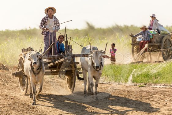 Burmese people driving oxcart