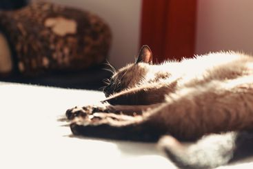 Siamese cat resting in the bed while sleeping to camera...