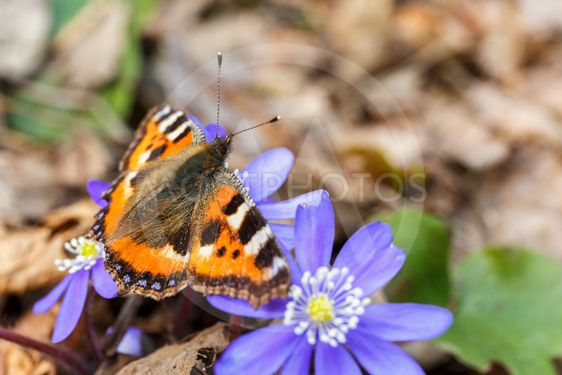 Hepatica flowers with a Small Tortoiseshell butterfly on
